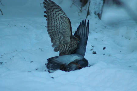 sparrowhawk: Battle of life and death. This Sparrowhawk has caught a pigeon and tries to kill it for prey