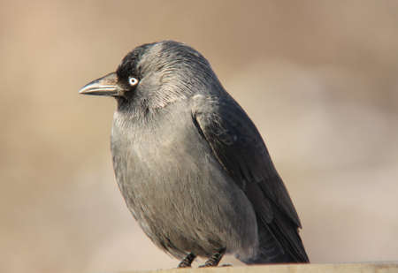 jackdaw: Jackdaw wondering. Jackdaw wonders where the world is going to
