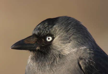 corvidae: Jackdaws look. This Jackdaw has sharp look and sharp beak