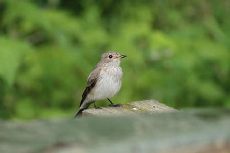 spotted: Spotted flycatcher  hunting for insects. This Spotted flycatcher tries to catch some insects Stock Photo