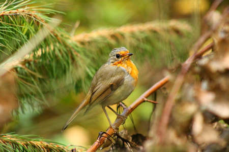 robins: Robins pose. This Robin is posing for the photographer and  stays perfectly still