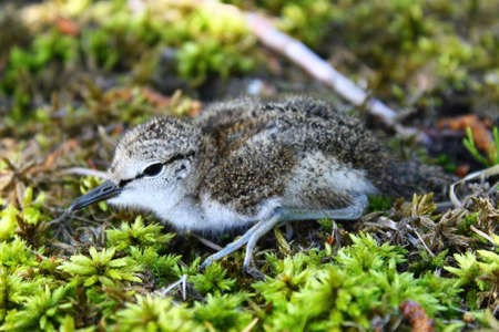 wade: The Common Sandpiper chick. This cute  Common Sandpipers chick has left its nest under mother surveillance