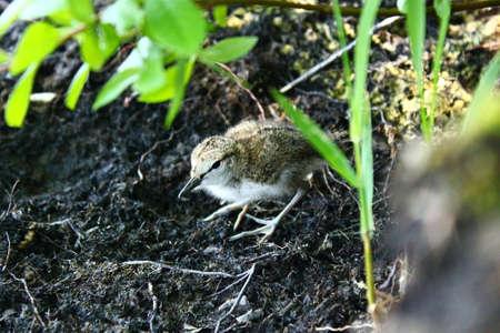 under surveillance: The Common Sandpiper chick. This cute  Common Sandpipers chick has left its nest under mother surveillance