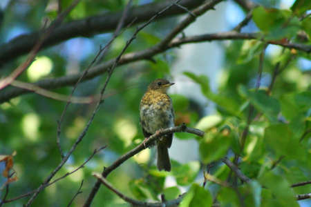 robins: The Robin cub. This Robins cub sits on a tree branch and waits for its parents to show up