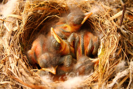spotted: The Spotted Flycatchers cubs. These cute cubs belong to Spotted Flycatcher