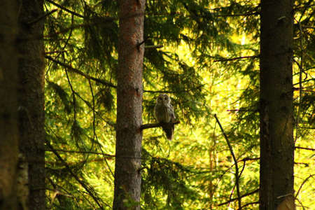 Ural Owl and dark forest. This Ural Owl is sitting on a branch in a dark forest Stock Photo