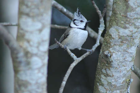 poser: The Crested Tits pose. This Crested Tit is posing  for me on a branch Stock Photo