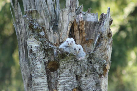 ural owl: Ural Owl cubs. These ural owl cubs are waiting for food from their parents