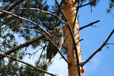 moles: Monitoring Ural Owl. This Ural Owl is closely monitoring the environment  and possible moles and mices Stock Photo