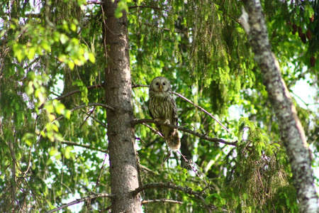 ural owl: Monitoring Ural Owl. This Ural Owl is closely monitoring the environment  and possible moles