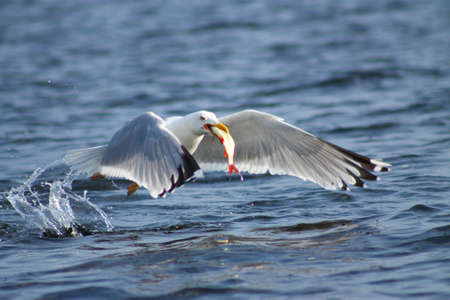 immediately: Gulls prey. This gull caught a fish and eats it immediately Stock Photo