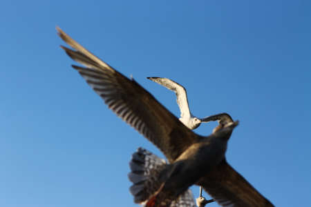 incoming: Incoming! This gull ate a fish and has no idea whats coming from above it Stock Photo