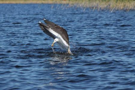 fish head: Lesser Black-backed Gull caught a fish head. This Lesser Black-backed Gull has caught a fish head