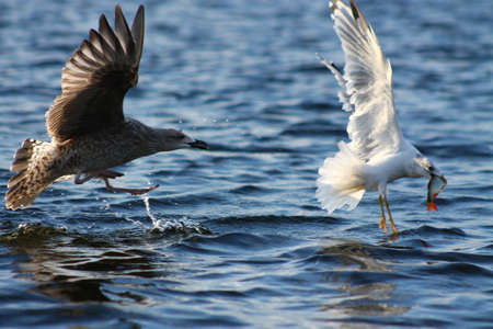 chase: The chase. This Herring Gull is chasing a smaller Common Gull who has caught a fish