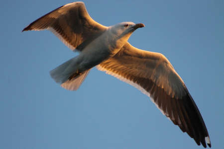 poser: The Lesser Black-backed Gull majestic flight. This Black-backed Gull flies into the sunset