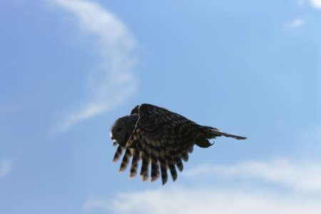 ural owl: The Ural Owl flight at close range. This Ural owl flew past me at very close range