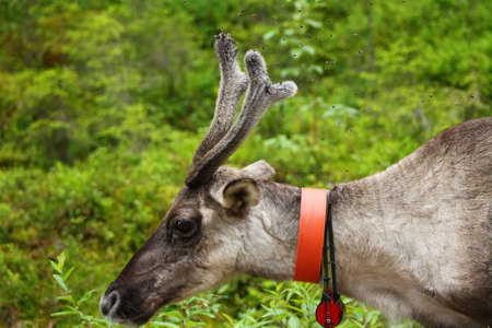 ungulate: Reindeer has problems with few flies. This reindeer tries to shoo the flies that are bullying it