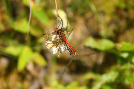 animal behavior: Mating dragonflies on a sunny day. These dragonflies are mating and continue their generation Stock Photo