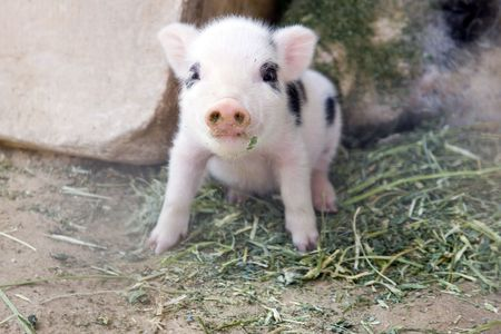 lactation: One week old fuzzy  piglet