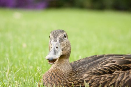 Adorable young duck playing in the grass at a local playground.