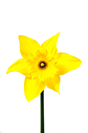 other keywords: Yellow Daffodil in full bloom isolated on white background Stock Photo
