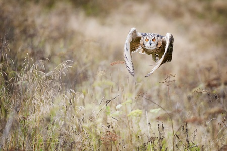 Beautiful owl photographed while flying, surrounded by warm autumn scenery  photo