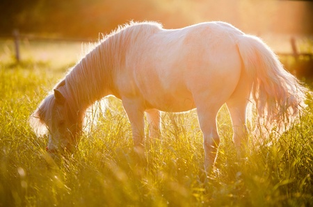 A pony photographed in Poland at sunset  Amazing back light creates unusual atmosphere and adds glow to the pony  Photograph is full of warm tones of yellow and orange Stock Photo - 13509260