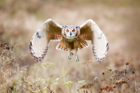 Beautiful owl photographed while flying, surrounded by warm autumn scenery  Stock Photo