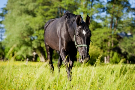 ranching: A horse on a meadow in Europe  Beautiful animal photographed in warm sunlight surrounded by fresh green plants  Photograph has warm tone and rich colors