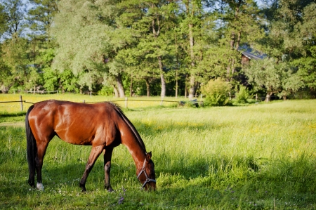 A horse on a meadow in Europe  Beautiful animal photographed in warm sunlight surrounded by fresh green plants  Photograph has warm tone and rich colors   Stock Photo - 13608062