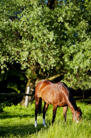 A horse on a meadow in Europe  Beautiful animal photographed in warm sunlight surrounded by fresh green plants  Photograph has warm tone and rich colors   Stock Photo - 13608054