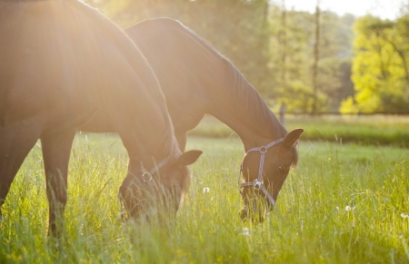 Group of horses on a meadow in Europe  Beautiful animals photographed in warm sunlight surrounded by fresh green plants  Photograph has warm tone and rich colors   Stock Photo - 13608049