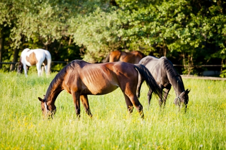 ranching: Group of horses on a meadow in Europe  Beautiful animals photographed in warm sunlight surrounded by fresh green plants  Photograph has warm tone and rich colors   Stock Photo