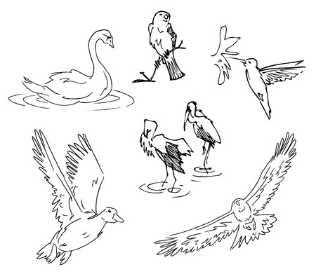swans:  Bird Sketches