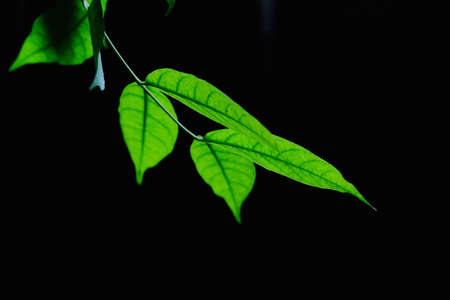 closedup: Green Leaf With Black Background