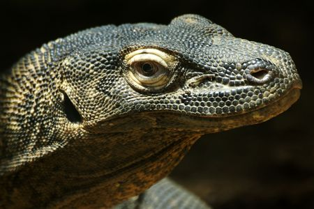 komodo: Komodo dragon, Varanus komodoensis, at St. Louis Zoo