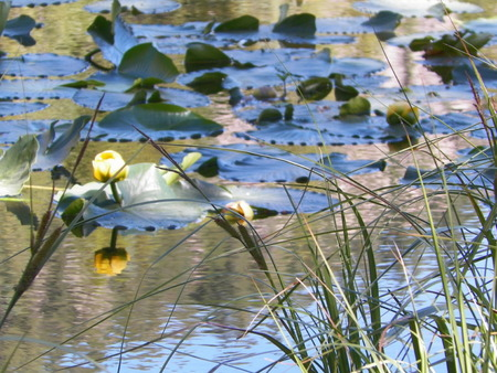Lilypads on Nymph Lake in Colorado
