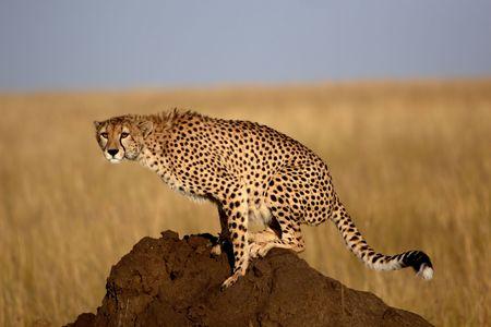 Cheetah sitting on a termite mound Stock Photo