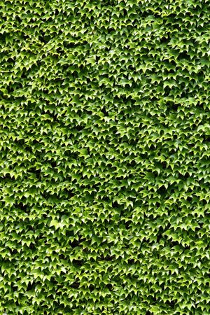 Ivy growing on a wall
