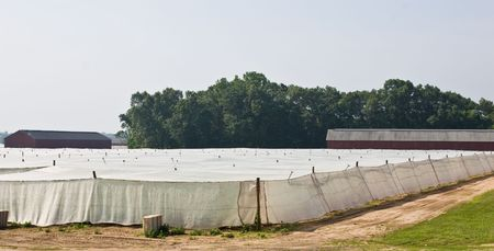 Tobacco growing under a white mesh shade tent