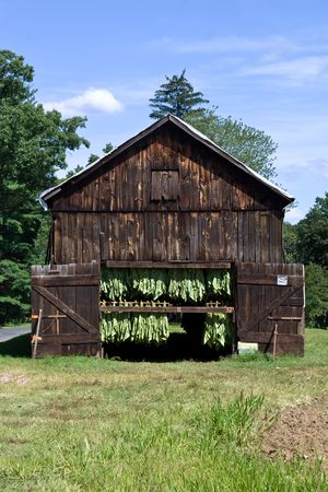 tobacco plants: Connecticut Tabacco Leaves Air Drying in Barn