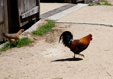 pullet: Rooster and Hen