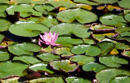 Water Lily Surrounded by Lily Pads