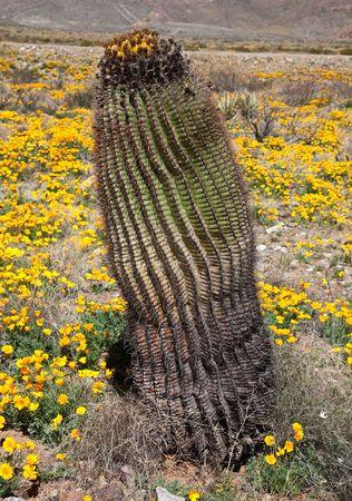 Barrel Cactus Stock Photo - 6711457