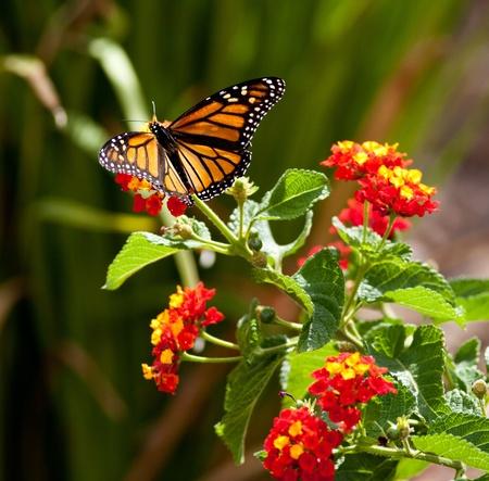 모나크 나비의 먹이 스톡 콘텐츠