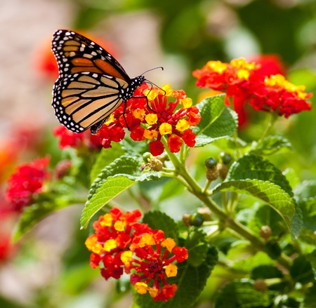 Monarch Butterfly Feeding Banque d'images