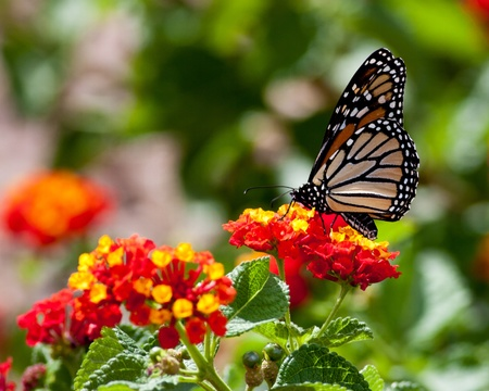Monarch Butterfly Feeding Stock Photo