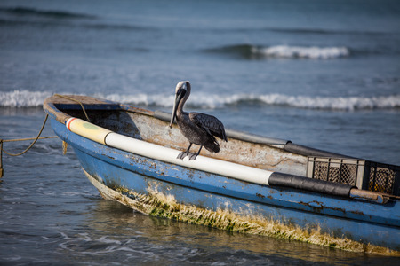 Brown Pelican sitting on a boat