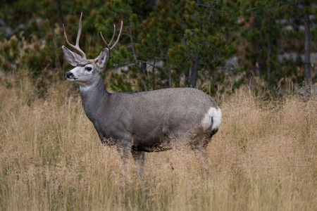 Blacktail Deer standing in a grass meadow