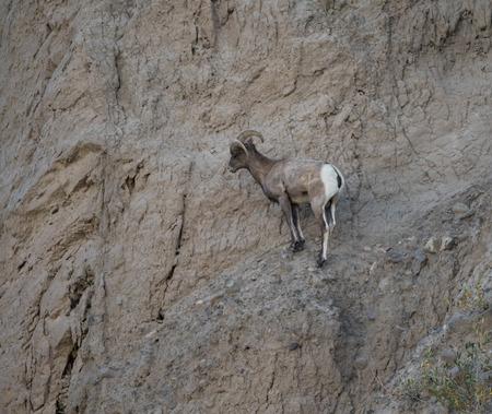 rocky mountain bighorn sheep: Bighorn Sheep Stock Photo